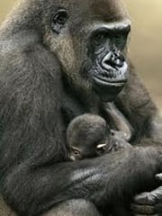 Nahual Gorila