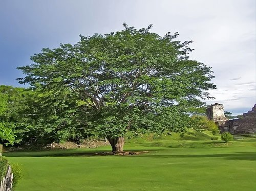 La Ceiba, simbolo patrio de Guatemala
