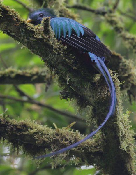 El Quetzal Ave Nacional De Guatemala Deguate Com
