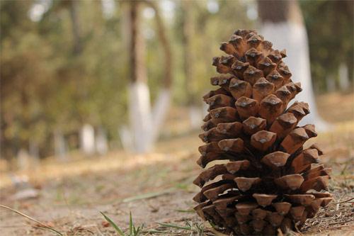 Cono de pino en Los Aposentos, Guatemala