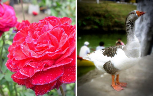 Flor y ganso de Los Aposentos, Guatemala