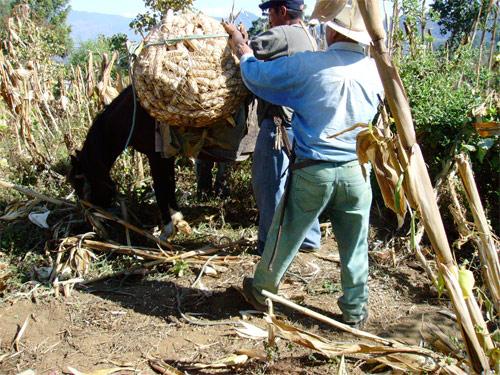 Cosecha en San Andrés Itzapa, Chimaltenango