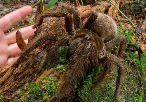 Araña gigante 01