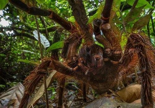 Araña gigante ataque