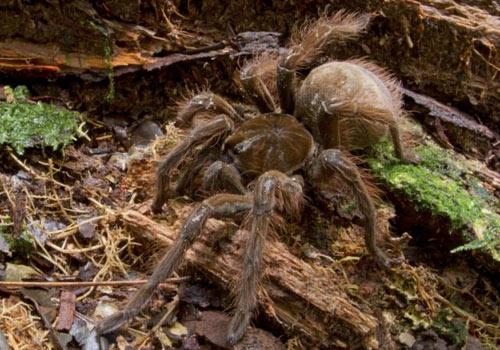 Gigantesca araña peluda