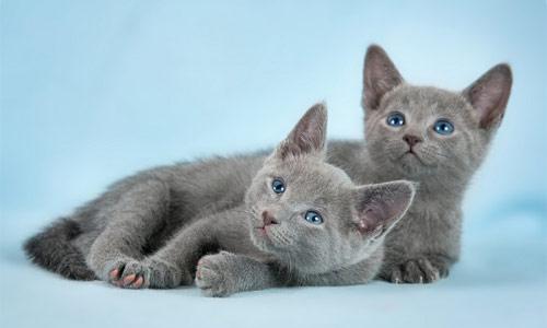 Cachorros de gato ruso azul