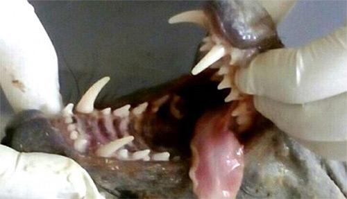 Boca y dientes del chupacabras