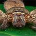 En Australia hallan a la madre de todas las arañas.