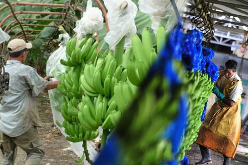 El trabajo en las plantaciones bananeras