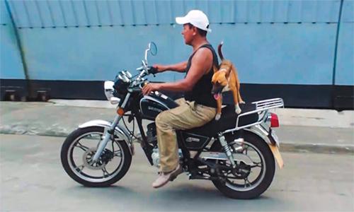 Perrita viaja en moto junto a su amo.