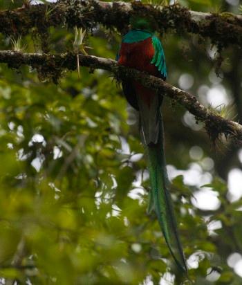 http://www.deguate.com/artman/uploads/53/Quetzal-1.jpg