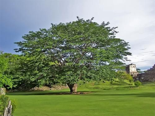 La Ceiba, árbol nacional de Guatemala