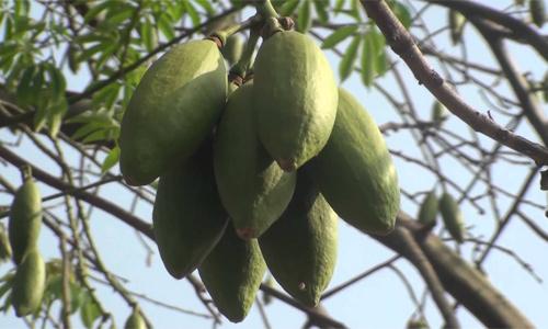 Fruto de ceiba