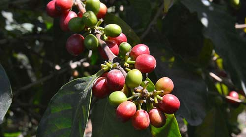 Café gana valor en Asia