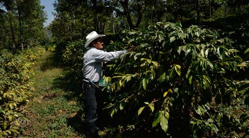 Buscan comercio justo sobre producción de café