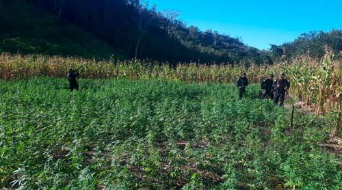 Erradican plantación de marihuana valorada en más de Q11 millones