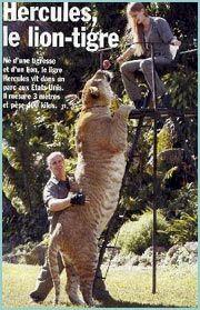 Cruces entre leones y tigres - Leones apareamiento ...